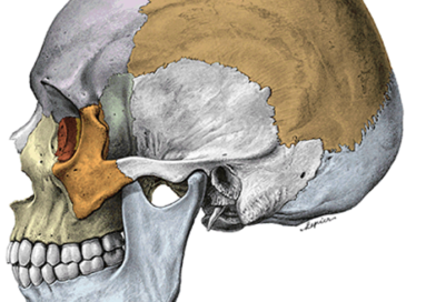 Funkcionális anatómia I. : Koponya – Cranium
